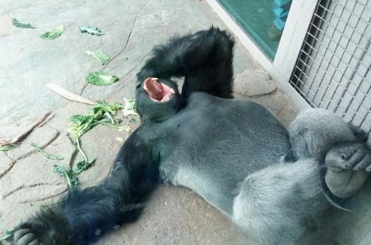 bored-gorilla-331842